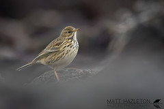 Meadow pipit (Matt Hazleton) Tags: meadowpipit anthuspratensis bird nature wildlife animal outdoor canon canoneos7dmk2 canon500mm matthazleton matthazphoto falmouth cornwall beach rock pipit eos 7dmk2 500mm coast shore