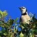 Blue Jay 20200115