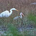Great Egret and White Ibis 20200116