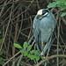 Yellow-crowned Night-Heron 20200116