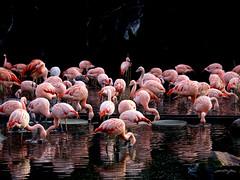 Flamingos (ingrid eulenfan) Tags: zoo leipzig tier animal vogel bird flamingo 55210mm sony sonyalpha6000