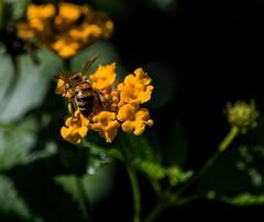 A Little Beehind (ACEZandEIGHTZ) Tags: honeybee nikond3200 closeup flyinginsect nature wings winged pollinator flowers bokeh macro apismellifera lantana sunny