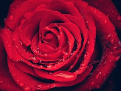 """The magic is always in the details."" (***étoile filante***) Tags: sonyilce6000 sonyalpha6000 rose flower blume details waterdrops drops tropfen wassertropfen macro closeup nahaufnahme nature natur beautiful beauty beauté schönheit poetisch poetic emotions life leben love liebe smileonsaturday plants plant"