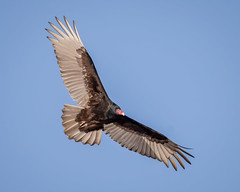 Turkey Vulture soaring (tresed47) Tags: 2020 202001jan 20200106bombayhookbirds birds bombayhook canon7dmkii content delaware folder january peterscamera petersphotos places season takenby turkeyvulture us vulture winter