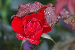 Wet Red Rose (Anton Shomali - Thank you for over 3 million views) Tags: rain wet after drops droplets beautiful colors red color colours flowers photography photo capture beauty happy sunday rainy sony slta77v flower rose nature september weather fall camera flickr morning summer garden backyard backyardflowers