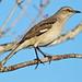 Northern Mockingbird 20200116