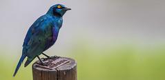 Greater Blue-Eared Starling (Sheldrickfalls) Tags: greaterblueearedstarling starling lamprotornischalybaeus lowersabie lowersabiecamp mpumalanga krugernationalpark kruger krugerpark southafrica