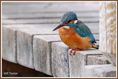 Martin-Pêcheur 200113-01-P (paul.vetter) Tags: nature faune oiseau vogel bird martinpêcheur alcedoatthis commonkingfisher martínpescadorcomún guardarios eisvogel alcédinidé
