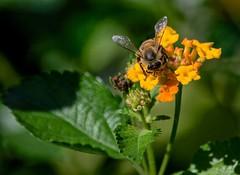 Non-Stop (ACEZandEIGHTZ) Tags: honeybee nikond3200 apismellifera flyinginsect closeup nature lantana flowers macro bokeh green leaves sunny wings winged pollinator coth5 coth sunrays5 alittlebeauty