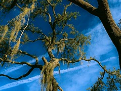 Contrails (surfcaster9) Tags: blue sky oaktree spanishmoss outside florida nature micro43 lumix25mmf17asph lumixg7 outdoors
