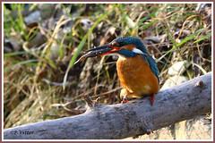 Martin-Pêcheur 200115-01-P (paul.vetter) Tags: nature faune oiseau vogel bird martinpêcheur alcedoatthis commonkingfisher martínpescadorcomún guardarios eisvogel alcédinidé
