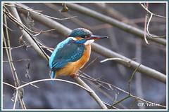 Martin-Pêcheur 200115-03-P (paul.vetter) Tags: nature faune oiseau vogel bird martinpêcheur alcedoatthis commonkingfisher martínpescadorcomún guardarios eisvogel alcédinidé