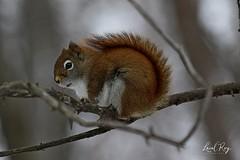 Ecureuil roux nord-américain / Tamiasciurus hudsonicus / North American Red Squirrel (Laval Roy) Tags: quebec mammals mammifères rongeurs sciuridés northamericanredsquirrel écureuilrouxnordaméricain tamiasciurushudsonicus écureuilroux redsquirrel basedepleinairdesaintefoy villedequébec lavalroy hiver saisonhivernale