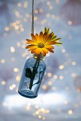 Decoracion (Magda Banach) Tags: nikond850 bokeh bouquet colors decoration dof flora flower glassbottle lights macro nature orange plants reflection yellow