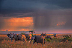 Elephants of Amboseli (Nedko Nedkov) Tags: sunset storm elephant wildlife bigfife amboseli kenya africa