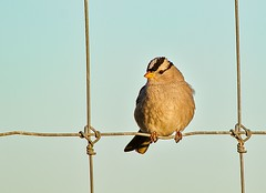 White-crowned Sparrow (parmrussrap) Tags: bird birds sparrows ornithology sanlouisnationalwildliferefuge fences brown tan