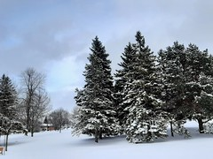 Freshly fallen snow today (angelinas) Tags: snowfall snow winter hiver weather trees pinetrees outdoors nature neige montreal canada quebec