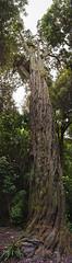 Just an old Rimu tree (Ian@NZFlickr) Tags: old tree wilton bush wellington nz