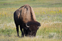 Grazing (Randy R...) Tags: bison d7500 mammal northdakota nikon plains nationalpark
