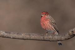 House finch male (Lynn Tweedie) Tags: wood bokeh beak tail wing canon ngc animal male missouri winter tree bird 5dmarkiv eye feathers eos housefinch sigma150600mmf563dgoshsm branch