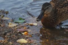 Ducky Strange (tue40) Tags: duck water lake leaves liście kaczka