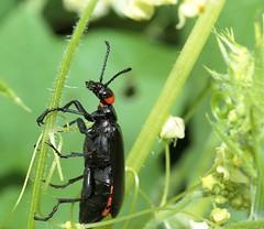 Lytta eucera (Chevrolat, 1834) (carlos mancilla) Tags: insectos escarabajos beetles canoneos700d canoneosrebelt5i ef100mmf28macrousm lyttaeucerachevrolat1834 lyttaeucera pipilaciega meloidae meloinae