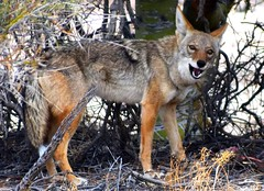 Coyote under a tree (thomasgorman1) Tags: desert tree coyote teeth baja nature hiking predator nikon outdoors wildlife canine looking eyes
