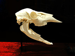 Herbivore Skull (EmperorNorton47) Tags: thenat balboapark sandiego california photo digital winter interior museum exhibit skull bones skeleton herbivore photoshopped vignette sandiegomuseumofnaturalhistory