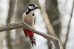 Queue-de-pie (DorianHunt) Tags: birds greatspottedwookpecker switzerland bokeh january 2020 nikond500 sigma 150600mm