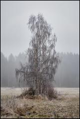 (Jonas Thomén) Tags: björk björkar birch tree trees träd åker field grass gräs dimma fog mist januari january