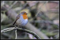 IMG_0002 Robin (Scotchjohnnie) Tags: robin erithacusrubecula ornithology bird birdphotography birdwatching ukbirds wildlife wildlifephotography wildanimal wildandfree nature naturephotography canon canoneos canon7dmkii canonef100400f4556lisiiusm scotchjohnnie