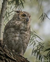 Ñacurutú (Provinciano) Tags: d7500 sigma150600 predelta buho owl