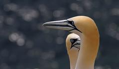 Gannet Bokeh (Nephentes Phinena ☮) Tags: basstölpel birds helgoland nordsee northsea northerngannet wildlife