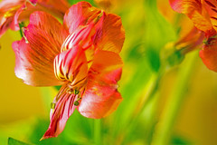 Anonymous Flowers (Fiddling Bob) Tags: flowers red tamron28703545 manualfocus oldlens
