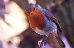 Looking down on me... (Ian A Photography) Tags: birds birdwatch britishbirds gardenbirds nature nikon robin ukbirds ukwildlife wildlife goldwildlife