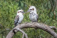 A  Kooka thankyou for Nancy DSC_2955 (BlueberryAsh) Tags: kookaburra laughingkookaburra dacelonovaeguineae australianbird australianwildlife kingfisher nikon nikond500 nikon200500 bird