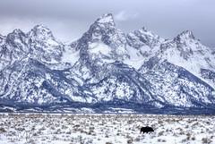 Tetons and More (RH Miller) Tags: rhmiller reedmiller landscape wildlife tetons winter snow moose bullmoose wyoming usa
