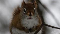 Ecureuil roux nord-américain / Tamiasciurus hudsonicus / North American Red Squirrel (Laval Roy) Tags: quebec mammals mammifères rongeurs sciuridés northamericanredsquirrel écureuilrouxnordaméricain tamiasciurushudsonicus écureuilroux redsquirrel basedepleinairdesaintefoy villedequébec lavalroy hiver saisonhivernale grosplan