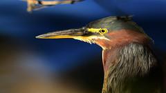 Green Heron (Butorides virescens), Biscayne National Park, Florida, USA (Pablo L Ruiz) Tags: greenheron birds feathers biscaynenationalpark biscaynebay
