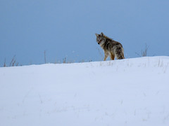 Coyote (Digital Generator) Tags: coyote wildlife wildlifephotography naturephotography nature outdoors outdoorphotography canon canonsx70 snow landscapephotography landscape