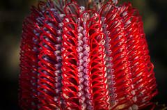 Scarlet banksia flower pattern (loveexploring) Tags: banksiacoccinea scarletbanksia banksia fitzgeraldrivernationalpark southwestwesternaustralia wildflower westernaustralianwildflower westernaustralia red patterninnature proteaceae