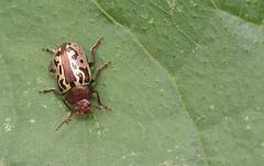 Zygogramma piceicollis (Stål, 1859) (carlos mancilla) Tags: insectos escarabajos beetles canoneos700d canoneosrebelt5i ef100mmf28macrousm zygogrammapiceicollisstål1859 zygogrammapiceicollis escarabajodelasmargaritas chrysomelidae chrysomelinae
