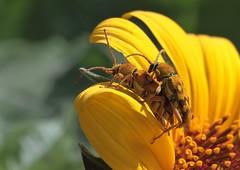 Ochraethes sommeri (Chevrolat, 1835) (carlos mancilla) Tags: insectos escarabajos beetles canoneos700d canoneosrebelt5i ef100mmf28macrousm ochraethessommerichevrolat1835 ochraethessommeri cerambycidae cerambycinae