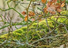 Moss on Oak (parmrussrap) Tags: moss green oak wood trees branches leaves bark bokehlicious