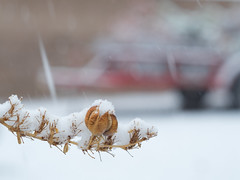 snow on the red yucca 16Jan20 (johngpt) Tags: redyucca seedpods helios44258mm fotodioxm42fxadapter fujifilmxt1 snow plants snowing