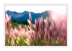 Pink Grass (Karen McQuilkin) Tags: pinkgrass summer wasatchmountains blueandpink summertime