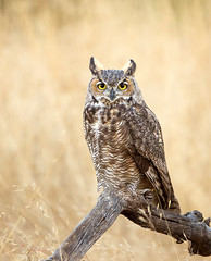 Great horned Owl (Thy Photography) Tags: greatgrayowl wildlife animal raptor avian animals raptors fullframe fe600mmf4gmoss outdoor photography owl nature california sunrise sunset sunshine sanfranciscobayarea sonya9 sonya7rm4 sonya9ii bird backyard birdofprey birds prey