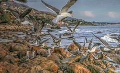 Birds in Flight and on the Rocks (Michael F. Nyiri) Tags: lapiedrastatebeach malibuca california southerncalifornia seagulls birds seabird pacificocean