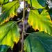 River Birch Leaves 02