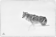 Face to Face with Winter (Glatz Nature Photography) Tags: glatznaturephotography nature nikond850 northamerica usa unitedstatesofamerica wildanimal wildlife winter yellowstonenationalpark coyote canislatrans snow struggle wind blizzard westyellowstone blackandwhite monochrome